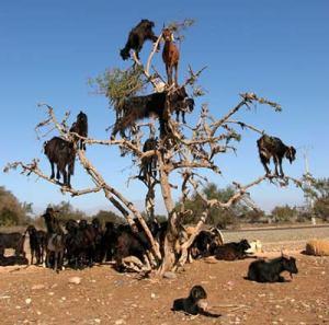 kambing-di-maroko