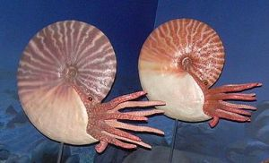 ammonite_models